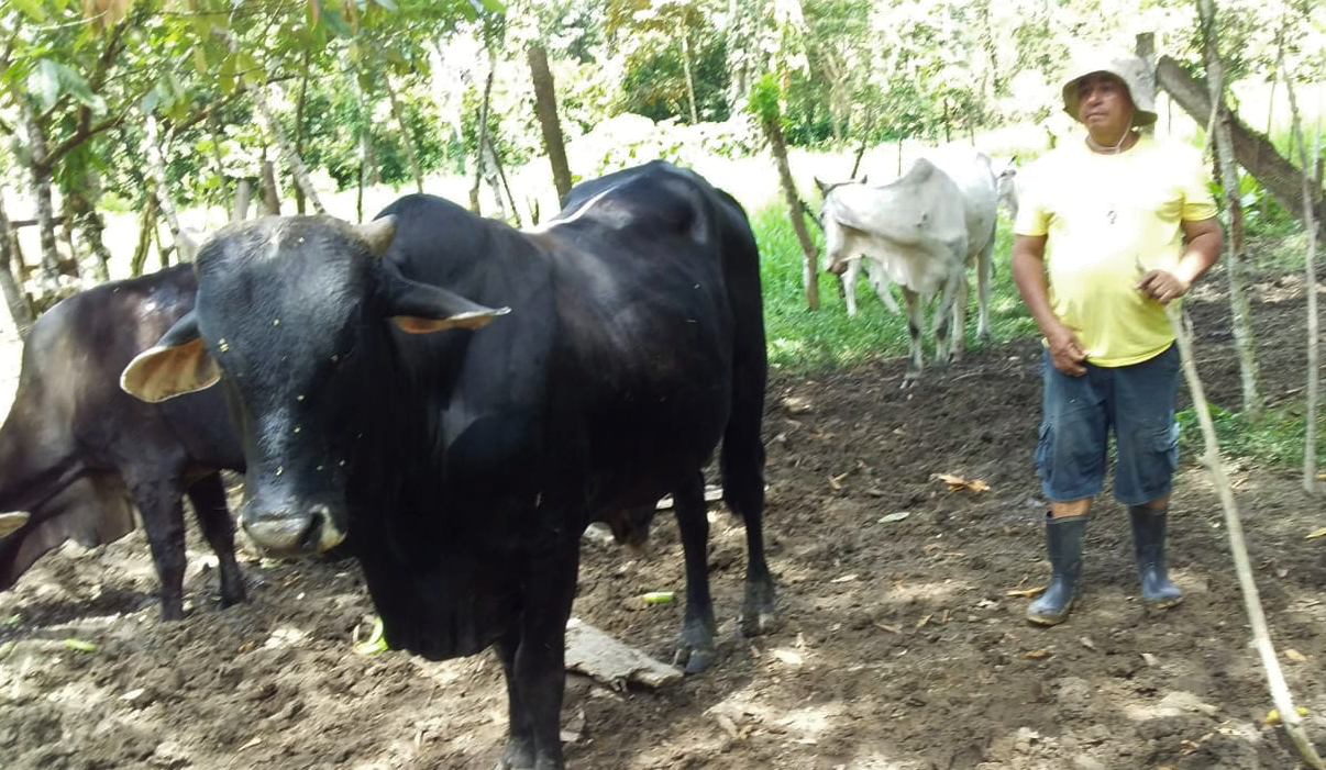 Cattle Herd Breeding Project, Costa Rica