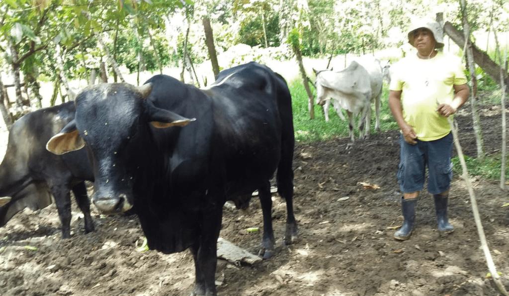 Le Projet D'élevage A Talamanca, Costa Rica